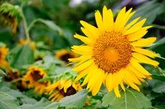 Schließen Sie herauf Sun-Blume stockbild