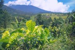 Schließen Sie herauf Teepflanzen mit Landschaftshintergrund Stockbild