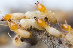Termiten in Thailand Stockbild