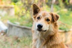 Schließen Sie herauf thailändischen Hund Stockbild