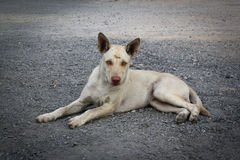 Schließen Sie herauf thailändischen lokalen Hund Lizenzfreie Stockfotos