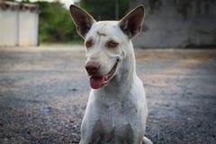 Schließen Sie herauf thailändischen lokalen Hund Lizenzfreie Stockfotografie