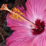 Schließen Sie herauf tiefrosa Hibiscus stockbild