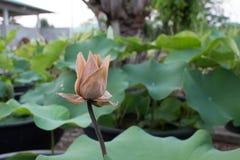 Schließen Sie herauf toten Lotosblumenmakroschuß Lizenzfreie Stockfotografie