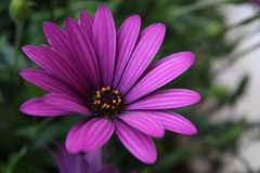 Schließen Sie herauf violette Blume afrikanischen Gänseblümchens Osteospermum Stockbilder