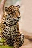 Schließen Sie herauf vollen Körper von den Leopardpanthern, die Blickkontakt schauen Stockfoto