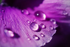 Schließen Sie herauf Wassertropfen auf Violablumen des japanischen Gartens stockfotos