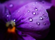 Schließen Sie herauf Wassertropfen auf Violablumen des japanischen Gartens lizenzfreies stockbild