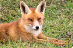Schließen Sie herauf weg von roten Fox Stockfotos