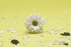 Schließen Sie herauf weiße Chrysantheme lizenzfreie stockfotografie