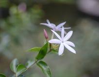 Schließen Sie herauf weiße Jasminblumen Stockbilder