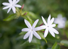 Schließen Sie herauf weiße Jasminblumen Lizenzfreie Stockfotos