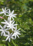 Schließen Sie herauf weiße Jasminblumen Stockbild