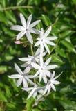 Schließen Sie herauf weiße Jasminblumen Stockfotografie