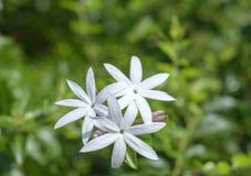 Schließen Sie herauf weiße Jasminblumen Lizenzfreies Stockfoto