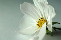 Schließen Sie herauf weiße Kosmosblume auf dem Aquahintergrund stockbilder