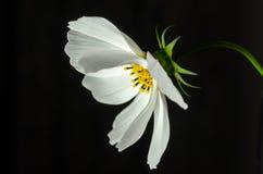 Schließen Sie herauf weiße Kosmosblume mit schwarzem Hintergrund lizenzfreie stockbilder