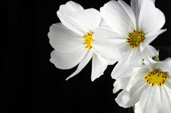 Schließen Sie herauf weiße Kosmosblume mit schwarzem Hintergrund stockbild
