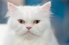 Schließen Sie herauf weiße persische Katze des Gesichtes Lizenzfreies Stockbild