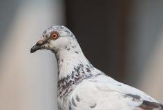 Schließen Sie herauf weiße Taube Stockfotos