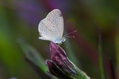 Schließen Sie herauf weißen Schmetterling auf purpurroter Blume in der Natur Lizenzfreies Stockfoto