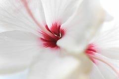 Schließen Sie herauf weißer Hibiscus rosafarbenen Hibiscus Rosa-sinensi Stockbilder