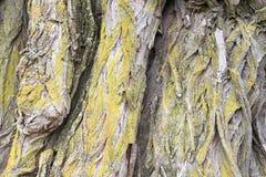 Schließen Sie herauf Weidenbaumrinde Lizenzfreies Stockbild