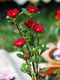 Schließen Sie herauf wenig rote Blume Stockfotografie