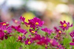 Schließen Sie herauf Wiese des Lavendels Naturzusammensetzung am Sonnenscheintag Lizenzfreies Stockbild