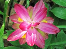 Schließen Sie herauf wilde Gelbwurz-Blume, Kurkuma aromatica Salisb Rosa wilde Gelbwurzblume hat viele Arten ätherische Öle stockbilder