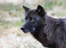 Schließen Sie herauf Wolf Stockfoto