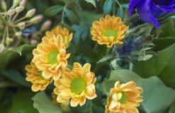 Schließen Sie herauf yelow Chrysantheme, Mamas oder chrysanths Blume arrangem Lizenzfreie Stockfotografie