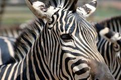 Schließen Sie herauf Zebra Lizenzfreie Stockfotografie