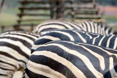 Schließen Sie herauf Zebra Stockfoto