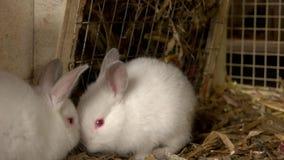 Schließen Sie herauf zwei weiße kleine Kaninchen im Käfig stock footage