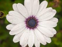 Schließen Sie oben über Schuss der purpurroten nassen Mittekorbblütlerblume lizenzfreie stockfotografie