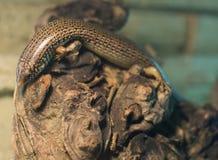 Schließen Sie oben auf Chalcides ocellatus gemustertes Skink Stockbild