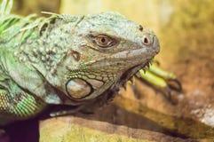 Schließen Sie oben auf dem Kopf eines Leguans in einem Park Lizenzfreie Stockfotografie