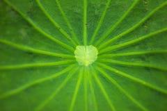 Schließen Sie oben auf der Mitte des grünen Lotosblattes Stockfotografie