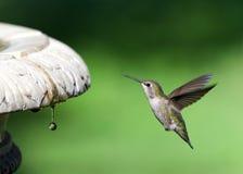 Schließen Sie oben auf einem Annas Kolibri, der nahe tropfendem Vogelbad schwebt lizenzfreies stockfoto
