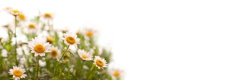 Schließen Sie oben auf Gänseblümchen, panoramischer weißer Hintergrund lizenzfreies stockbild