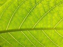 Schließen Sie oben auf grüner Blattbeschaffenheit Stockbild
