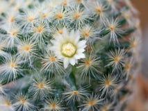 Schließen Sie oben auf Kaktus Lizenzfreie Stockfotografie