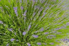 Schließen Sie oben auf Lavendel Stockfotos