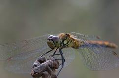 Schließen Sie oben auf Libelle auf einer Anlage stockfotos