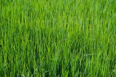 Schließen Sie oben auf neuer Beschaffenheit des grünen Grases Stockfoto