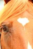 Schließen Sie oben auf Pferdegesicht und -augen Stockfoto