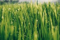 Schließen Sie oben auf schönem grünem Gras mit bokeh von Tröpfchen Reisfeldabschluß oben stockfoto