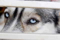 Schließen Sie oben auf schönen blauen Augen eines Hundes des sibirischen Huskys Stockfotografie