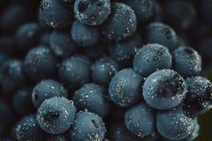 Schließen Sie oben, Beeren der dunklen Weintraube mit Wassertropfen des Restlichts auf schwarzem Hintergrund Stockfotos